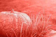 Grote pompoen op gras stock foto's