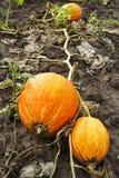 Grote pompoenen die op de grond liggen De Staven van de de herfstoogst voor Halloween Royalty-vrije Stock Foto