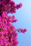 Grote purpere bougainvillea Royalty-vrije Stock Fotografie