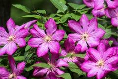 Grote purpere Clematissenbloemen Clematissen van de Viticella-Groep royalty-vrije stock afbeelding