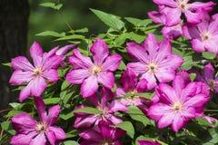 Grote purpere Clematissenbloemen Clematissen van de Viticella-Groep royalty-vrije stock fotografie