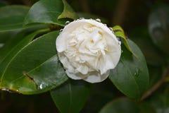 Grote Regendalingen op een Witte Bloembloesem stock foto