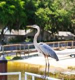 Grote Reiger tijdens de vlucht over het meer van Florida Stock Foto