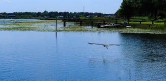 Grote Reiger tijdens de vlucht over het meer van Florida Stock Afbeelding