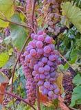 Grote rijpe purpere druiven die op druivenstruik hangen stock afbeeldingen