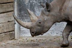 Grote rinoceros Royalty-vrije Stock Foto's