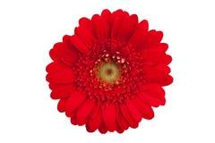 Grote rode bloem met bloemblaadjes van oranje gerbera Royalty-vrije Stock Afbeeldingen