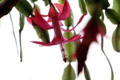 grote rode bloem op een witte achtergrond Royalty-vrije Stock Foto's