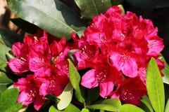 Grote rode bloemen van rododendronhybride stock foto's