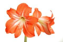 Grote rode die bloemen op wit worden geïsoleerd royalty-vrije stock afbeelding