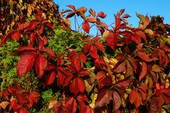 Grote rode druivenbladeren in de voorgrond, achtergrond royalty-vrije stock afbeelding