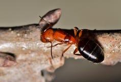 Grote rode en zwarte mier op een boomtak royalty-vrije stock foto