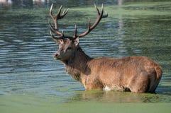 Grote rode mannetjesherten die in water waden royalty-vrije stock afbeeldingen