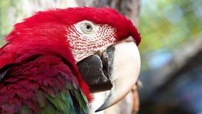 Grote rode papegaai, rode en groene Ara stock footage