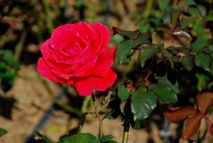 Grote rode rozen heldere zonneschijn stock afbeeldingen