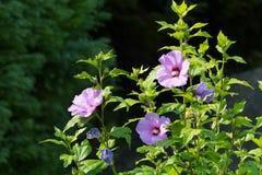 Grote ronde bloemen op groene sappige stammen Verzacht, lilac kleur stock foto's