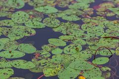 grote ronde waterleliebladeren in de diepe blauwe pondinzomer in Washington royalty-vrije stock foto's