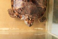 Grote rood-eared schildpad in het aquarium royalty-vrije stock foto