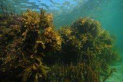 Grote rotsen met zeewieren in ondiep water royalty-vrije stock fotografie