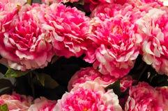 Grote Roze Anjerbloem Royalty-vrije Stock Foto