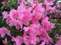 Grote Roze Azalea Flowering Shrub Royalty-vrije Stock Afbeelding