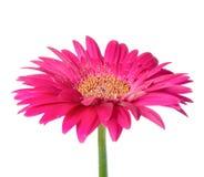 Grote roze bloemgerbera van steel is geïsoleerd op wit Royalty-vrije Stock Foto's
