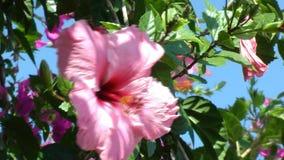 Grote Roze Hibiscusbloem die zich in de Wind bewegen stock videobeelden