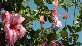 Grote Roze Hibiscusbloem in Gevlekt Zonlicht stock footage