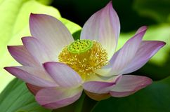 Grote Roze lotusbloem Royalty-vrije Stock Afbeelding
