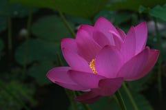 Grote roze lotusbloembloem, close-up Royalty-vrije Stock Foto's