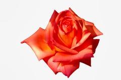 Grote roze nam op wit toe isoleert achtergrond royalty-vrije stock foto's