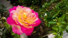 Grote roze nam toe Stock Foto