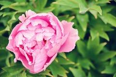 Grote roze pioen Royalty-vrije Stock Foto's