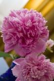 Grote roze pioenbloemen royalty-vrije stock foto