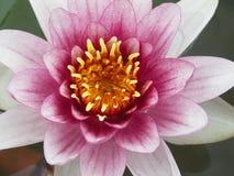 Grote Roze Waterlelie Royalty-vrije Stock Afbeeldingen
