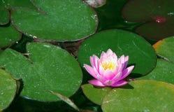 Grote roze waterlelie die onder de grote groene bladeren drijven stock foto's