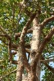 Grote rubberboom (Dipterocarpus-alatus) met groene bladeren Stock Foto's