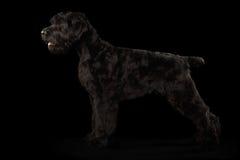 Grote Russische Zwarte terriërhond die zich op Geïsoleerde Achtergrond bevinden stock fotografie