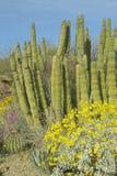 Grote saguarocactus en gele bloemen royalty-vrije stock foto
