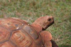 Grote Schildpad Stock Foto