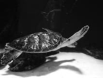 Grote schildpad in aquarium royalty-vrije stock afbeeldingen