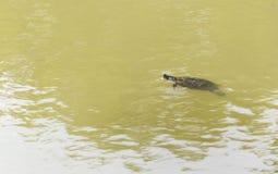 Grote schildpad die in een landbouwbedrijfmeer zwemmen stock afbeeldingen