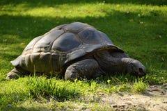 Grote Schildpad, Dvůr Krà ¡ lové, Europa Stock Afbeeldingen