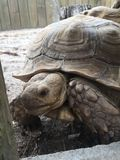 Grote Schildpad met reusachtige shell die door een houten omheining proberen heimelijk te nemen stock foto's