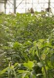 Grote serre voor het kweken van tomaten Royalty-vrije Stock Afbeeldingen