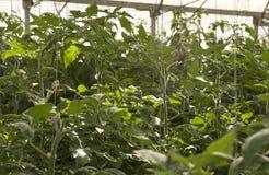Grote serre voor het kweken van tomaten Stock Foto