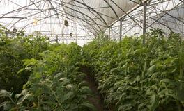 Grote serre voor het kweken van tomaten Stock Afbeeldingen