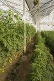 Grote serre voor het kweken van tomaten Royalty-vrije Stock Foto