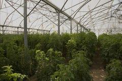 Grote serre voor het kweken van tomaten Royalty-vrije Stock Afbeelding