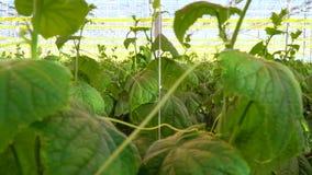 Grote serre waar de komkommers worden gekweekt stock videobeelden